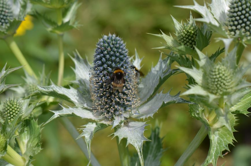 Eryngium giganteum - Kjempestikle, Giant sea holly, Miss Wilmott's ghost